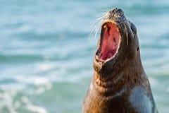 Brüllen der Seelöwedichtung lizenzfreies stockbild
