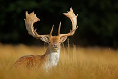 Brüllen Sie majestätische starke erwachsene Damhirsche, Dama Dama, im Herbstwald, Dyrehave, Dänemark stockfoto