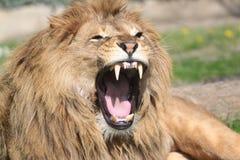 Brüllender Löwe Lizenzfreie Stockfotos