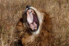 Brüllender Löwe Lizenzfreie Stockfotografie