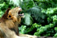 Brüllender Löwe Lizenzfreies Stockbild
