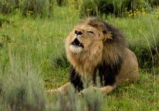 Brüllender Löwe Stockbild
