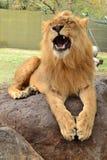 Brüllender Löwe Lizenzfreie Stockbilder