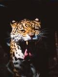 Brüllendes Jaguar Lizenzfreies Stockbild