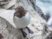Brünnich`s guillemot colonies on the Latrabjarg cliffs, Western Stock Photos