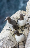 Brünnich`s guillemot colonies on the Latrabjarg cliffs, Western Royalty Free Stock Image