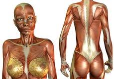 Brüste und Rückenmuskel Lizenzfreies Stockbild