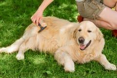 Brüter kämmt den Pelz des Haustieres lizenzfreies stockbild