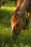 brąz je trawa świeżego konia Zdjęcie Royalty Free
