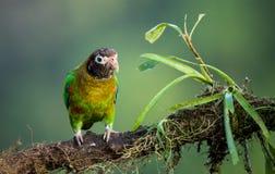 brąz okapturzająca papuga zdjęcia stock