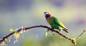 brąz okapturzająca papuga fotografia royalty free