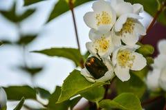 Brązowa ściga w rozpieczętowanym jabłczanym kwiacie obraz royalty free