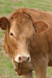 brązowa krowa zdjęcie stock