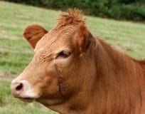 brązowa krowa zdjęcia stock