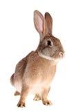brązowić odosobnionego królika zdjęcia stock