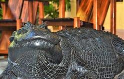 Br?zowi aligator ustawy predents jest domowym zwierz?ciem domowym obraz royalty free