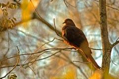 brązowy gołąb Zdjęcia Stock