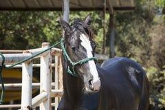 brązowy koń zdjęcia royalty free