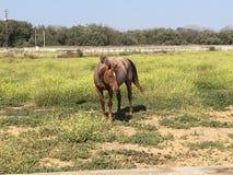 brązowy koń Zdjęcie Royalty Free