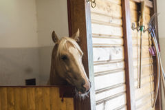 brązowy koń Obraz Royalty Free