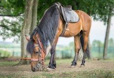 brązowy koń Fotografia Stock