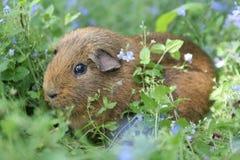 brązowy królik doświadczalny Zdjęcie Stock