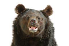brązowy niedźwiedź Obraz Stock