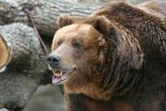 brązowy niedźwiedź zdjęcia royalty free
