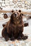 brązowy niedźwiedź fotografia royalty free