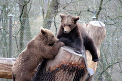 brązowy niedźwiedź park grać stockhol skansen Obrazy Stock