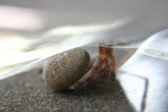 brązowy pająk odludka obraz royalty free