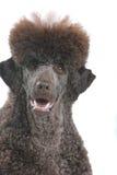 brązowy pies Zdjęcia Stock
