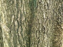 brązowy tła tekstury pomocniczym drewna bagażnika szczegółu tekstury tło Gnarl drzewa Obrazy Royalty Free