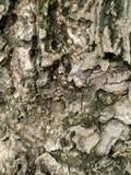 brązowy tła tekstury pomocniczym drewna bagażnika szczegółu tekstury tło Gnarl drzewa Zdjęcia Stock
