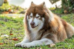 Brązu alaskiego malamute pies z cyganienie twarzą obraz stock