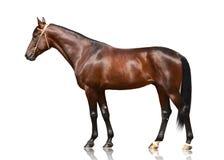 Brązu kłusaka trakenu końska pozycja odizolowywająca na białym tle Boczny widok obrazy stock
