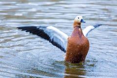 Brązu kaczor na miast skrzydłach, kaczka lub lub obraz stock