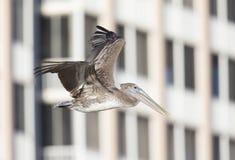 Brązu pelikana Pelecanus occidentalis w locie przed kondominiami przy fortem Myers Wyrzucać na brzeg Floryda obrazy stock