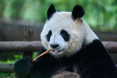 Bär des großen Pandas Sichuan China Lizenzfreies Stockbild