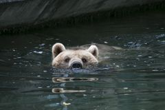 Bear in water royalty free stock images