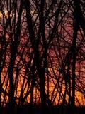 Br?nnande solnedg?ng och svart skog arkivbild