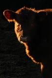brązowa krowa Fotografia Royalty Free
