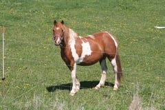 brązowy kucyka white Obrazy Stock