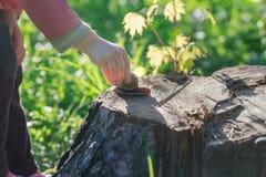 Braço da criança da criança que toma o rastejamento no caracol comestível de coto de árvore Imagens de Stock