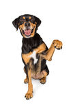 Braço de levantamento do grande cão feliz acima fotos de stock