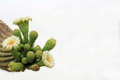 Braço de um cacto do Saguaro com espaço branco da cópia do céu fotos de stock