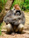 Braços do gorila cruzados foto de stock