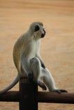 Brać spoczynkowej vervet małpy na ogrodzeniu Śmieszna fotografia Kruger park afryce kanonkop słynnych góry do południowego malown Fotografia Stock