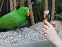 Brać Eclectus papugi portret Fotografia Royalty Free