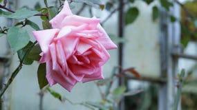 Bra morgon med en rosblomma Arkivfoto